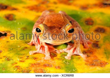 Foto de un arlequín rana de árbol muerto en una hoja de plátano con verde, amarillo, marrón y naranja colores