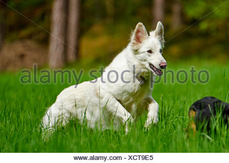 Berger Blanc Suisse (Canis lupus familiaris) f., BERGER BLANC SUISSE corriendo en una pradera, Alemania