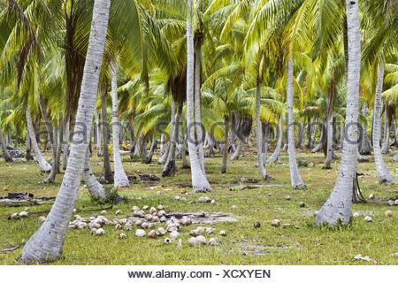 El Océano Pacífico, en la Polinesia Francesa, palmeras, cocoteros, mentira, Tikehau, cocoteros, Archipiélago Tuamotu, escenografía, isla, archipiélago, atoll, laguna, palmeras, vegetación, suelo, arroz,