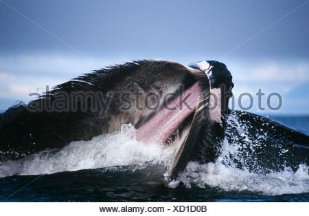 Ballena Jorobada lunge alimentación, Estrecho de Chatham, sureste de Alaska