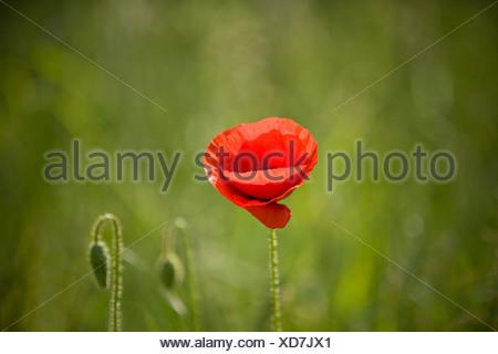 Una amapola roja flor