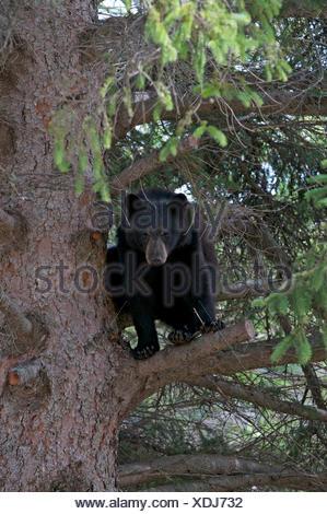 Oso negro americano (Ursus americanus) en la picea blanca, cerca de Thunder Bay, ON, Canadá