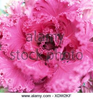 Floración roja kale cerca. Foto de stock