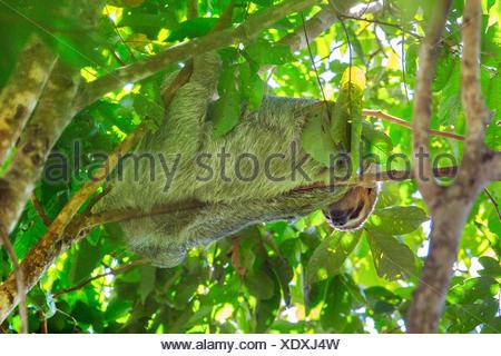 Linnaeus' dos dedos cada sloth (Choloepus didactylus), colgando en una rama de un árbol corona y descansando, Costa Rica