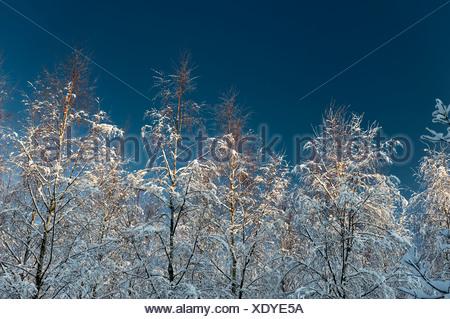 Los abedules nevados contra el cielo azul claro