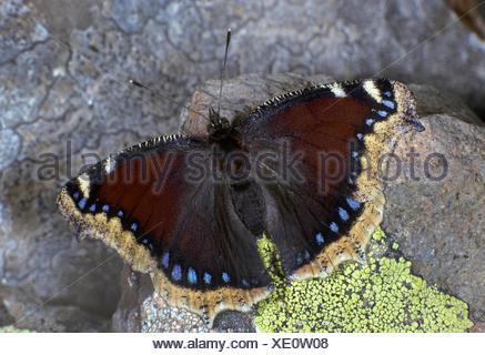 Nymphalis antiopa Camberwell (belleza), sobre una piedra, Alemania Foto de stock