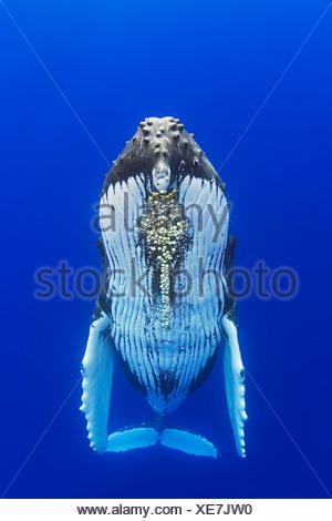 Ballena Jorobada con bellota parasitaria percebes adjunta Megaptera novaeangliae Cornula diaderma Océano Pacífico Hawai EE.UU.