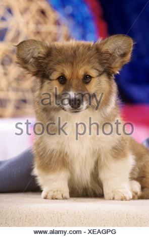 Welsh Corgi Cardigan - cachorros en Manta