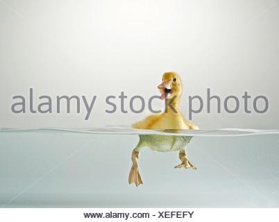 Domestic Duck. El Patito nadar mientras quacking Studio picture, nivel dividido
