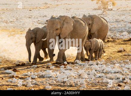 Bush africain ou éléphants Loxodonta cyclotis, Etosha National Park, Namibie, Kunene Banque D'Images