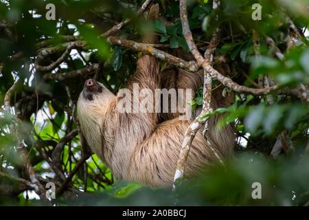 Deux grandes Hoffmann-toed sloth (Choloepus hoffmanni) suspendu à une branche d'arbre image prise dans la forêt tropicale de Panama
