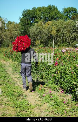 La culture des fleurs en Bavière: apporte un bouquet de lisianthus coupés et prêts pour le marché