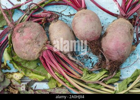 Beta vulgaris 'Bolthardy'. Maison fraîchement récolté beetroots avec tiges sur une table. UK Banque D'Images