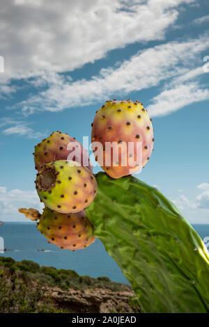 La direction générale de cactus avec des figuiers de barbarie, avec fond marin ensoleillé