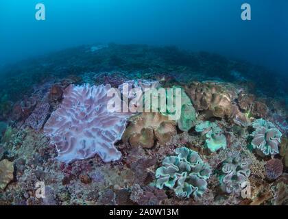 Coraux cuir géant (Sacrophyton sp) sur la mer dans la région de Nusa Lembongan près de Bali, Indonésie. 2016.