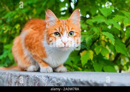 Couleur rouge et blanc chat mignon sur branche d'arbre vert feuilles contexte close up, des yeux verts très poilu gingembre kitty, pussycat orange, jaune chaton