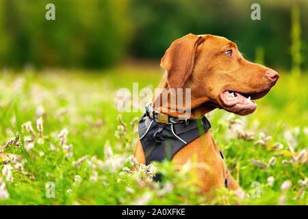 Happy smiling Cute puppy Vizsla devint en train de marcher à travers la prairie pleine de fleurs. Portrait de chien heureux à l'extérieur.