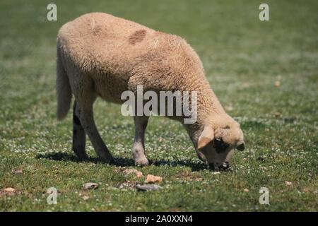 Les moutons mangent de l'herbe dans un pré Banque D'Images