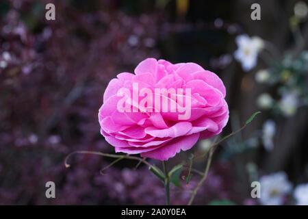 Rosa 'Gertrude Jekyll'. Arbuste de taille moyenne a augmenté. Banque D'Images