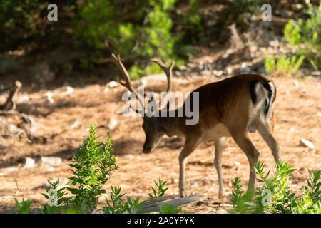 Portrait des adultes puissants majestueux red deer stag en forêt de l'été Banque D'Images