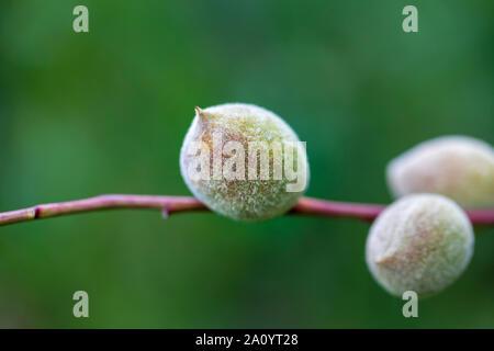 Trois fruits d'amandes sur une branche. Feuilles vertes floues en arrière-plan. Droit Banque D'Images