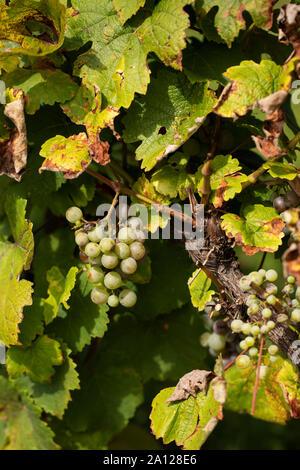 Vignes du raisin Heida, Paien ou Savagnin blanc (vitis vinifera), un raisin blanc de la région du Jura en France.