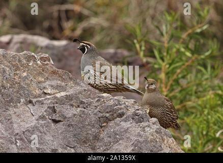 Colin de Californie (Callipepla californica) paire adultes debout sur un rocher El Yeso valley, Chili Janvier Banque D'Images