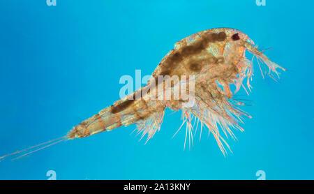 Les Copépodes (signifiant 'oar-pieds') sont un groupe de petits crustacés trouvés dans presque tous les habitats d'eau douce et salée. Certaines espèces sont planctoniques (dr