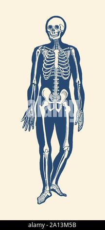 Anatomie Vintage print dispose d'un squelette orienté vers l'avant montrant le mouvement. Banque D'Images