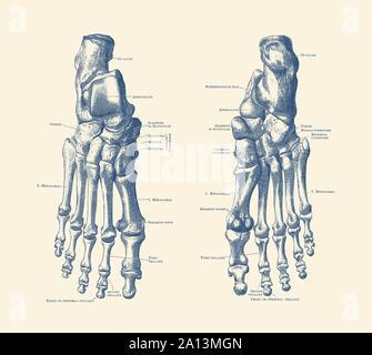 Anatomie Vintage print montrant les pieds, les chevilles et les articulations d'un squelette humain. Banque D'Images