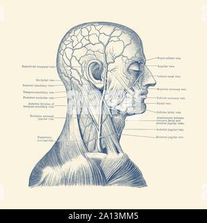 Anatomie Vintage print montrant un diagramme de la tête humaine. Banque D'Images