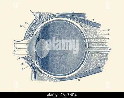 Anatomie Vintage print montrant un diagramme de l'œil humain. Banque D'Images