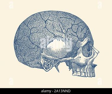 Anatomie Vintage print montrant la vue de côté d'un crâne humain illustrant plusieurs veines. Banque D'Images