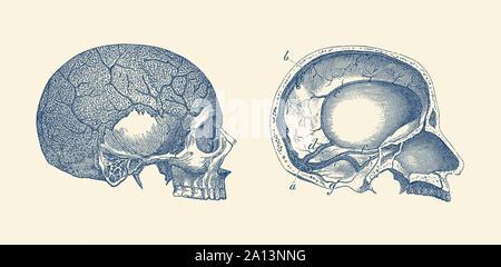 Anatomie Vintage print montrant le côté intérieur et de vues d'un crâne humain. Banque D'Images
