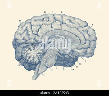 Anatomie Vintage print montrant un diagramme du cerveau humain. Banque D'Images