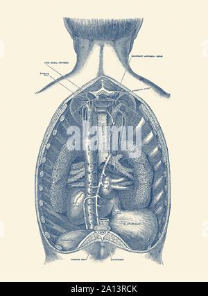 Anatomie Vintage du diaphragme d'impression, la mise en valeur de l'aorte et de la trachée. Banque D'Images