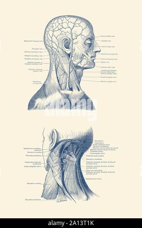 Double de la tête et du cou, mettant en valeur les muscles et les veines tout au long. Banque D'Images