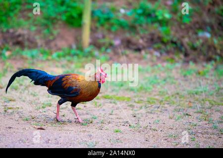 La jungle sri-lankaise volaille (Gallus lafayettii), ou des coqs sauvages de Ceylan, est membre de l'ordre d'oiseaux Galliformes qui est endémique du Sri Lanka. Banque D'Images