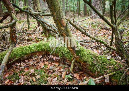Un vieil arbre tombé couverts de mousse dans une sombre forêt dense. Banque D'Images