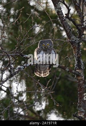 La Chouette naine Glaucidium californicum Oulu Finlande hiver Banque D'Images
