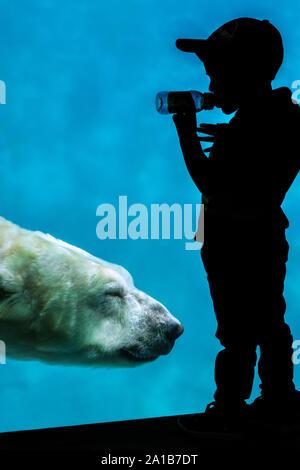 Silhouette de petit garçon en regardant l'ours blanc (Ursus maritimus / Thalarctos maritimus) nager sous l'eau au zoo par Banque D'Images