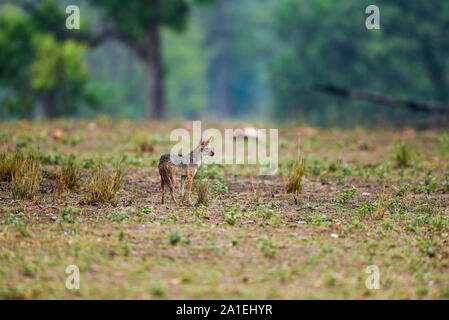 Nature Peinture décor par Indian jackal ou Canis aureus indicus Himalayan jackal ou Golden jackal tôt le matin à des heures bleu kanha national park