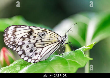 Cerf-volant de papier, papillon (idée leuconoe), reposant sur une feuille verte, avec en arrière-plan la végétation verte Banque D'Images
