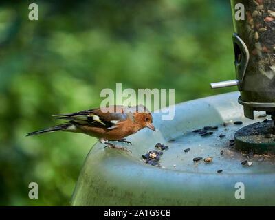 Un mâle (Fringilla coelebs Chaffinch commun) se tenait sur une mangeoire à propos de sélectionner quelques graines à manger Banque D'Images