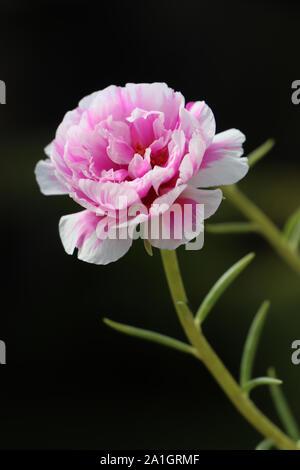 Fleur rose et pourpre. Banque D'Images