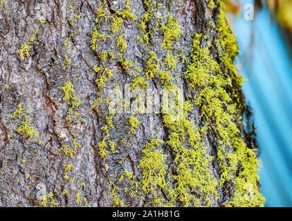 Gros plan du néon lumineux vert mousse sur tronc d'arbre (Wolf Lichen) Début de la croissance Banque D'Images