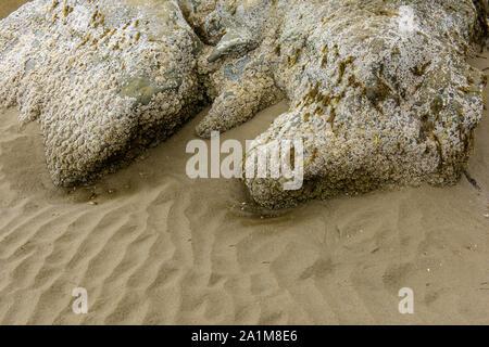 Barnacle a couvert des ondulations de sable et de roche sur Bandon Beach à marée basse, Bandon, Oregon, États-Unis Banque D'Images