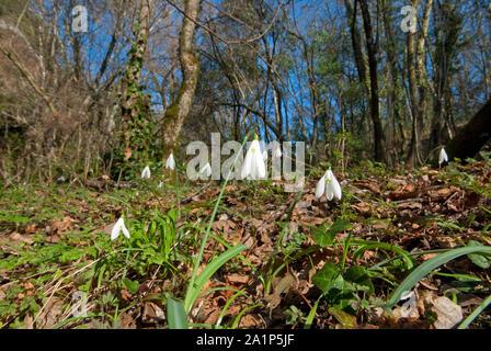 Perce-neige (Galanthus nivalis) dans le bois, le Parc Régional de Marturanum, Viterbe, Latium, Italie Banque D'Images