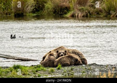 Un Ours brun famille composée d'un énoncé de travail appelé #402 et ses trois oursons dormir sur la plage à Naknek Lake près de Brooks Camp à Katmai National Park et préserver le 16 septembre 2019, près de King Salmon, Alaska. Le parc s'étend sur la plus grande des saumons avec près de 62 millions de saumons qui migrent à travers les cours d'eau qui alimente certains des plus grands blancs du monde entier. Banque D'Images