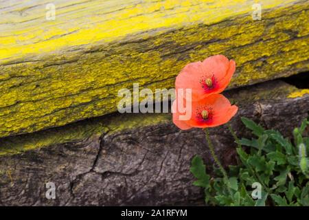 Coquelicot (Papaver rhoeas) en bois peint jaune à côté de la planche en bois banc close-up